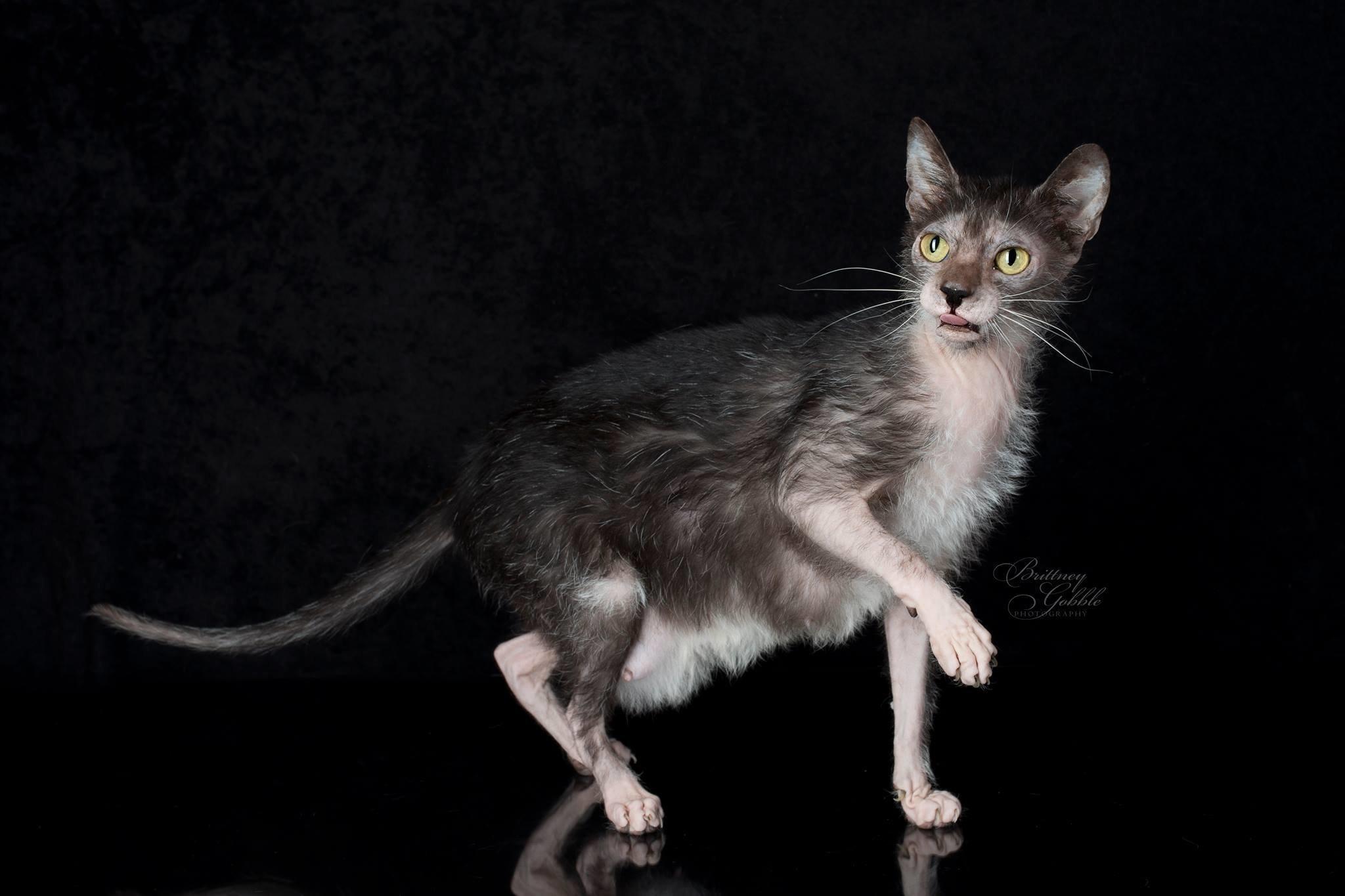 Ликой (ликои, кошки-оборотни)