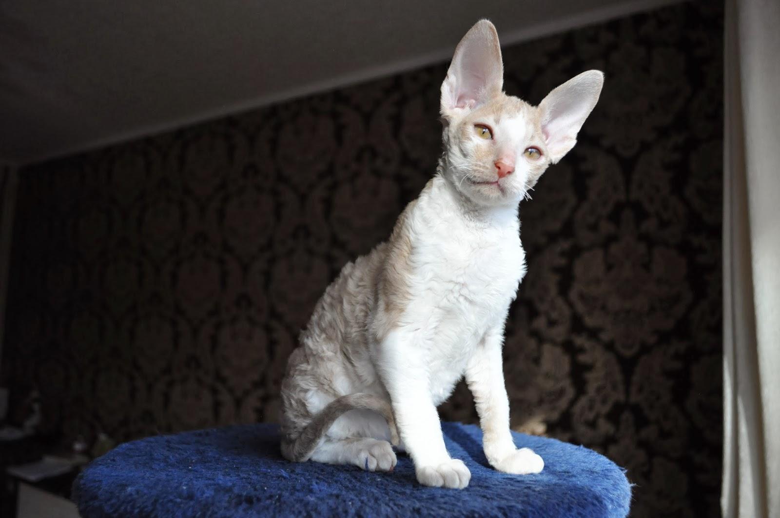 Порода кошек корниш-рекс