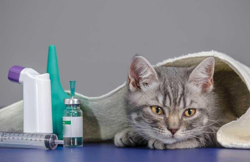 Бронхит у кошек и котов
