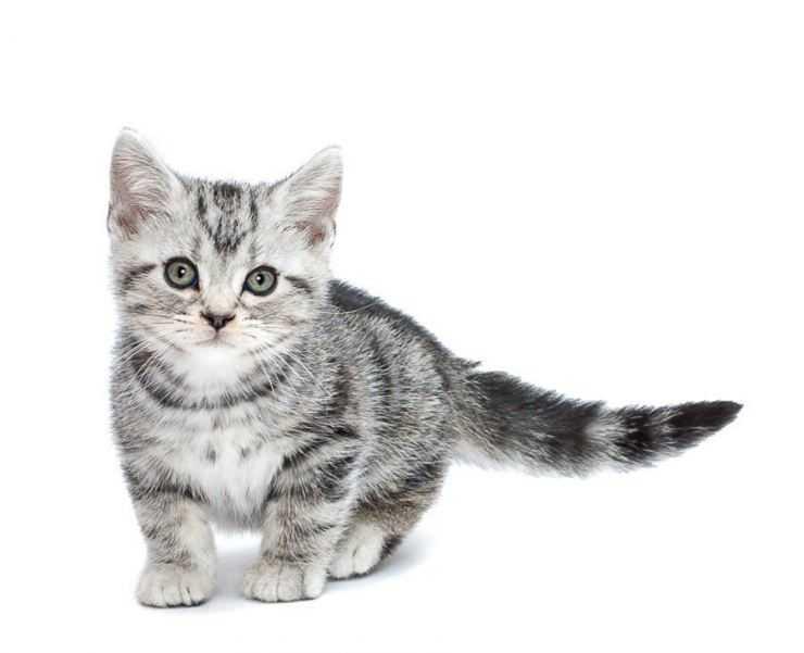 Американская короткошёрстная кошка: ласковый и нежный зверь