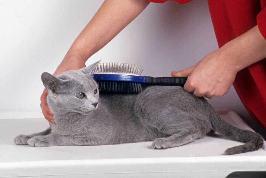 Стрижка британских котов: когда и как необходимо это делать