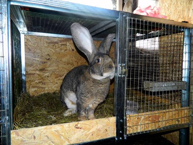 Сколько длится беременность у кроликов: сроки вынашивания