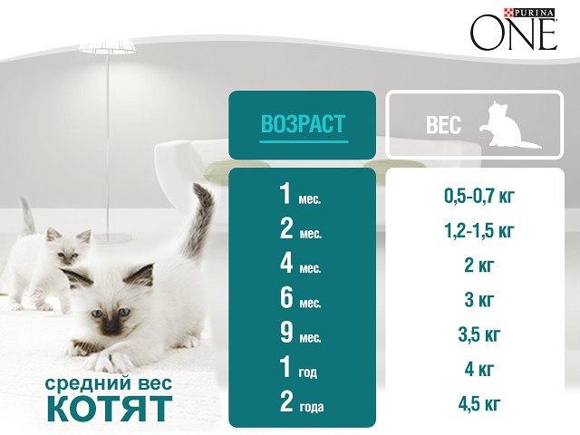 Вес котенка по месяцам: таблица правильного соотношения