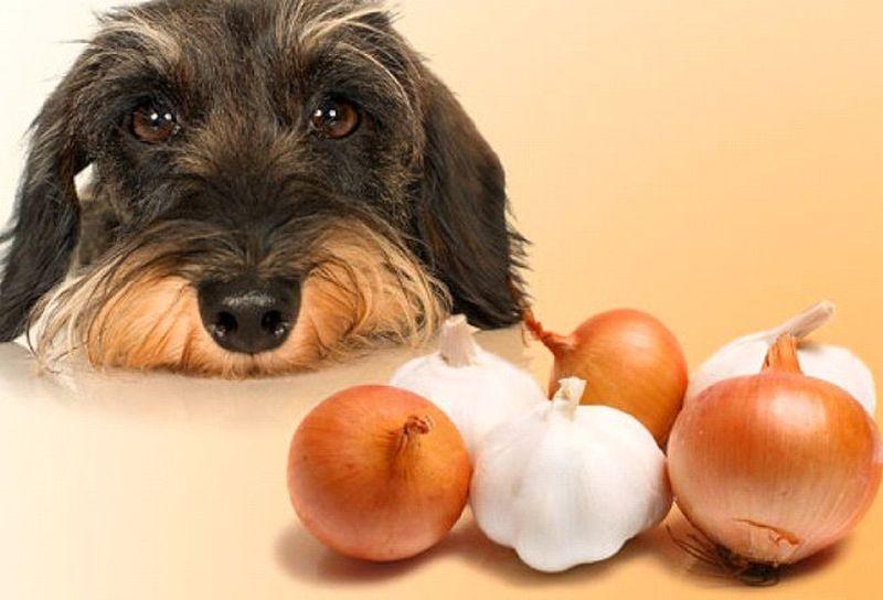 Можно ли собакам арбуз: разрешено ли йорку, шпицу и другим породам