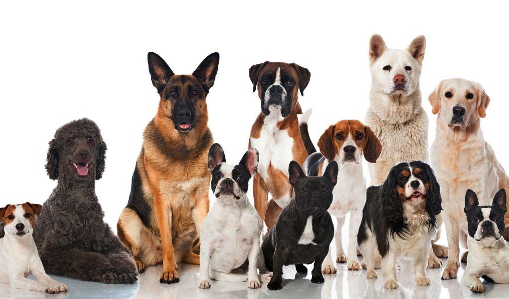 5 пород собак, подходящих для истинных домоседов