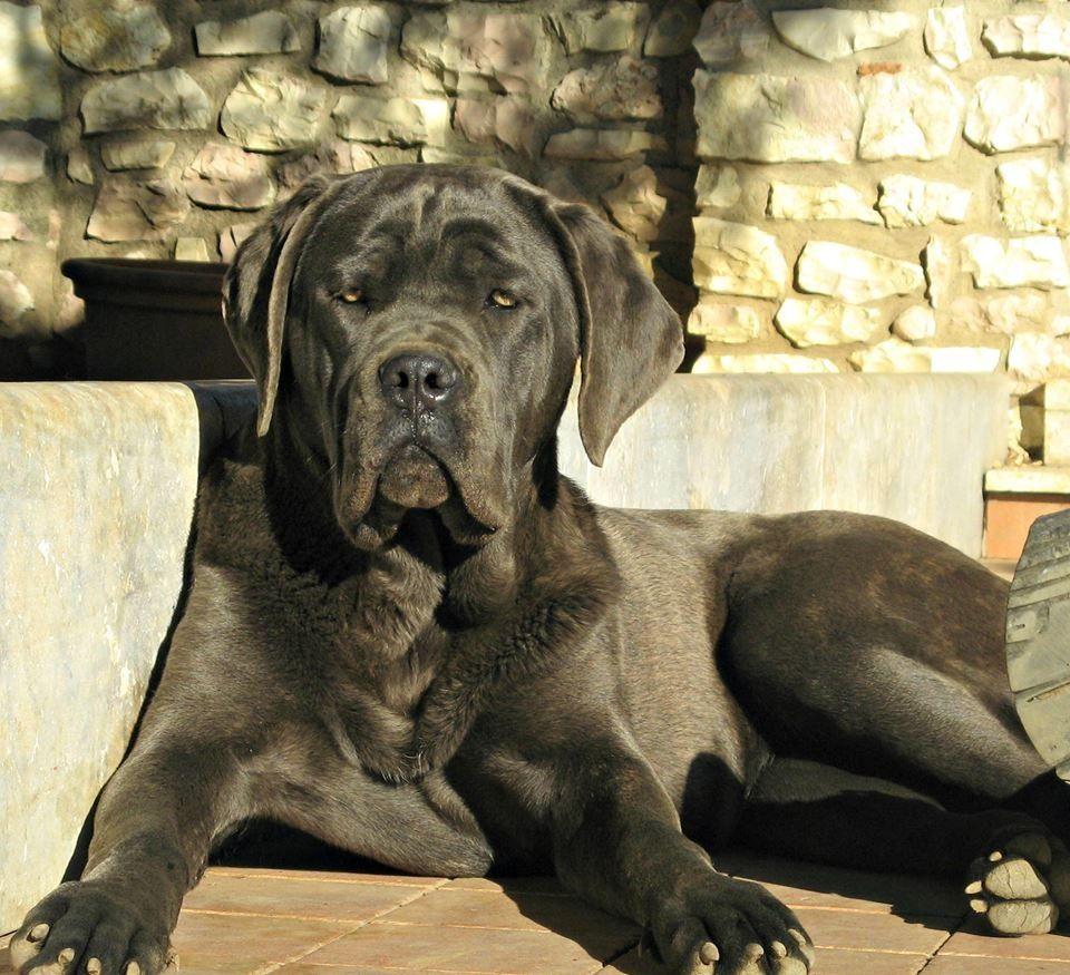 Кане-корсо (Итальянский мастиф) — порода собак