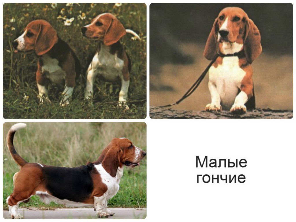 Охотничьи собаки: породы, маленькие и большие виды