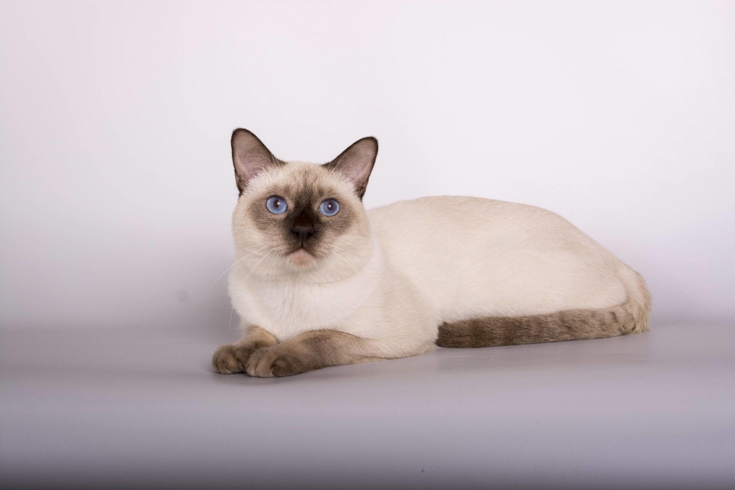 Тайская кошка (тайский кот)