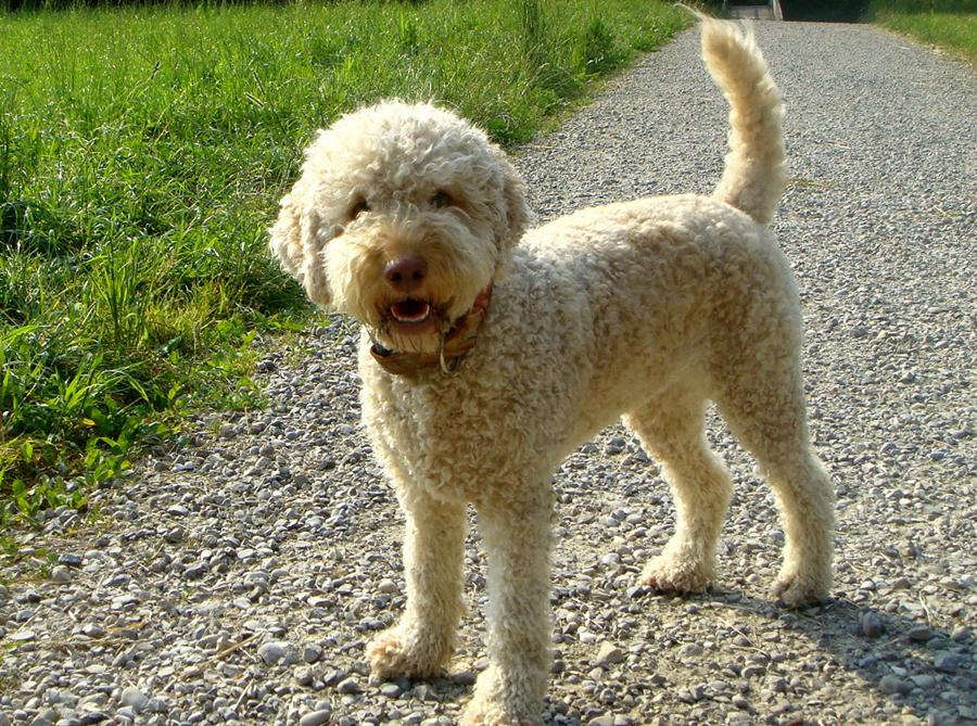 Лаготто-романьоло (Итальянская водяная собака)