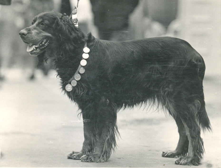 Шотландский сеттер гордон: описание породы собак
