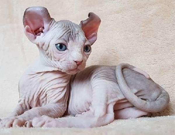 Кошка эльф — отличие от котов породы сфинкс