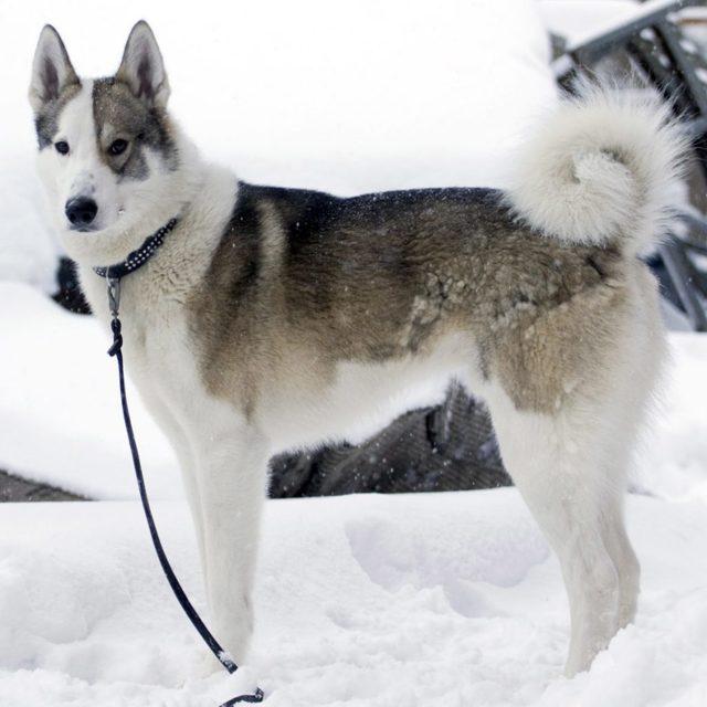 Якутская лайка: характеристика породы собак