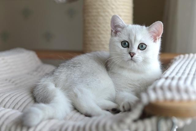 Британская шиншилла, золотой или серебристый кот-британец