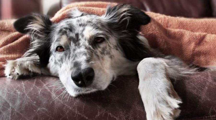 Болезни старых собак