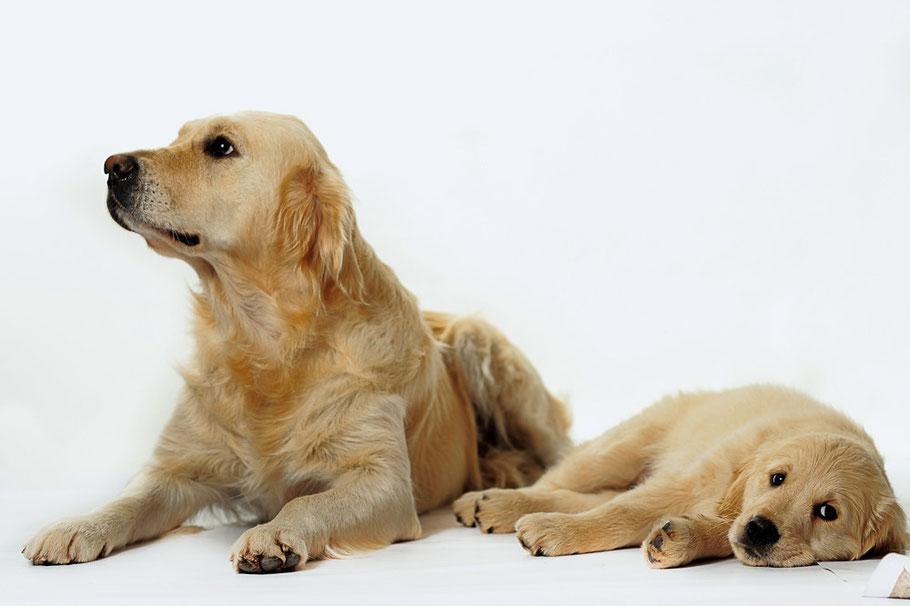 Золотистый ретривер: описание породы голден