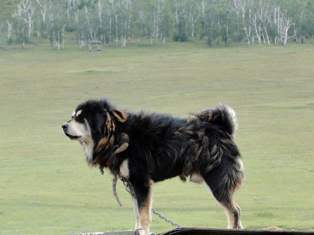 Бурят-монгольский волкодав (хотошо): описание породы