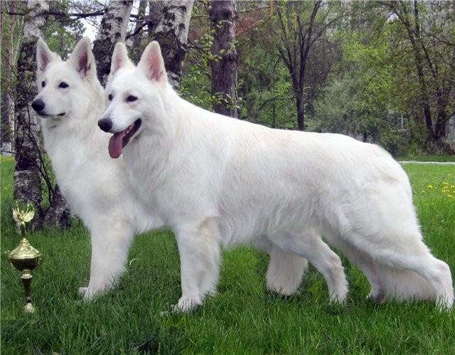 Белая собака: породы пушистых собак белого окраса