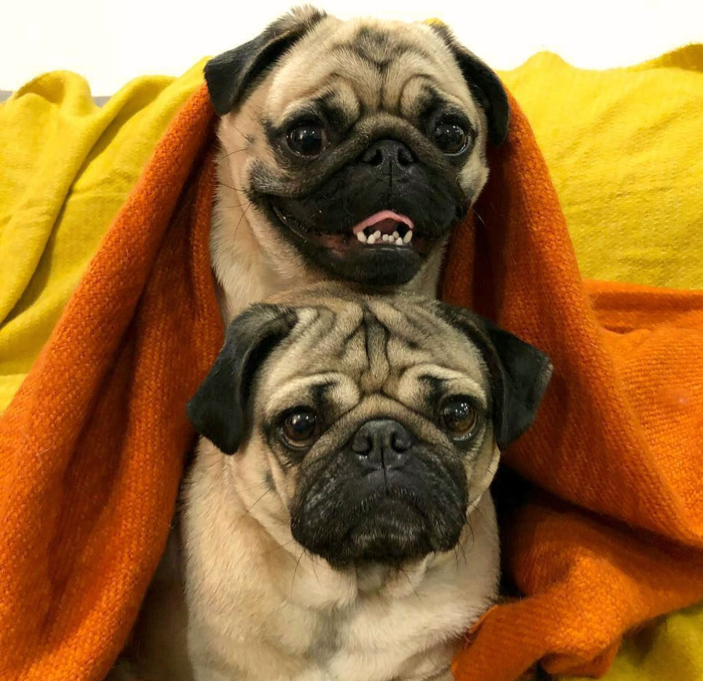 Очаровательные мопсы: 20 забавных фото + видео