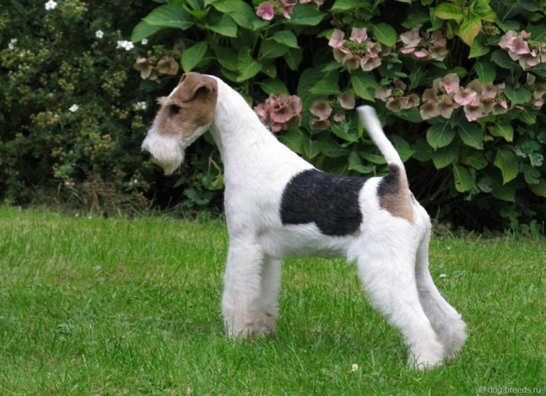 Фокстерьер: описание породы собак