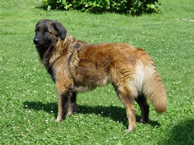 Эштрельская овчарка (Эштрельская горная собака)