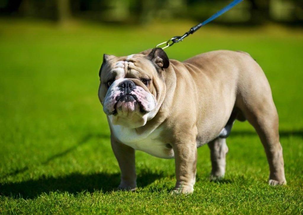 Английский бульдог — джентльмен собачьего мира
