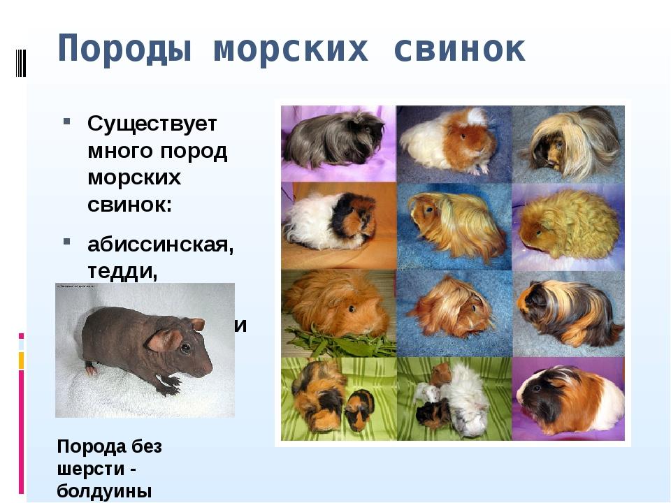 Сколько живут морские свинки в домашних условиях