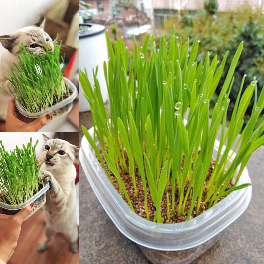Зачем кошки едят траву и как её вырастить