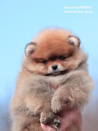 Шпиц лисичка (рыжий померанец): сравнение с медвежонком