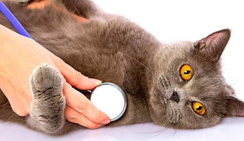 Почему у кошек и котов пропадает голос и как им помочь