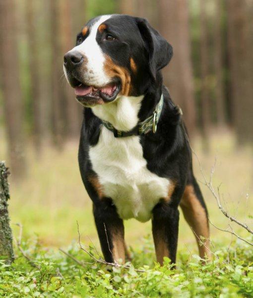 Большой швейцарский зенненхунд (Гросс, Большая горная собака)