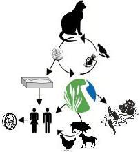 Что такое токсоплазмоз у кошки и чем опасно это заболевание