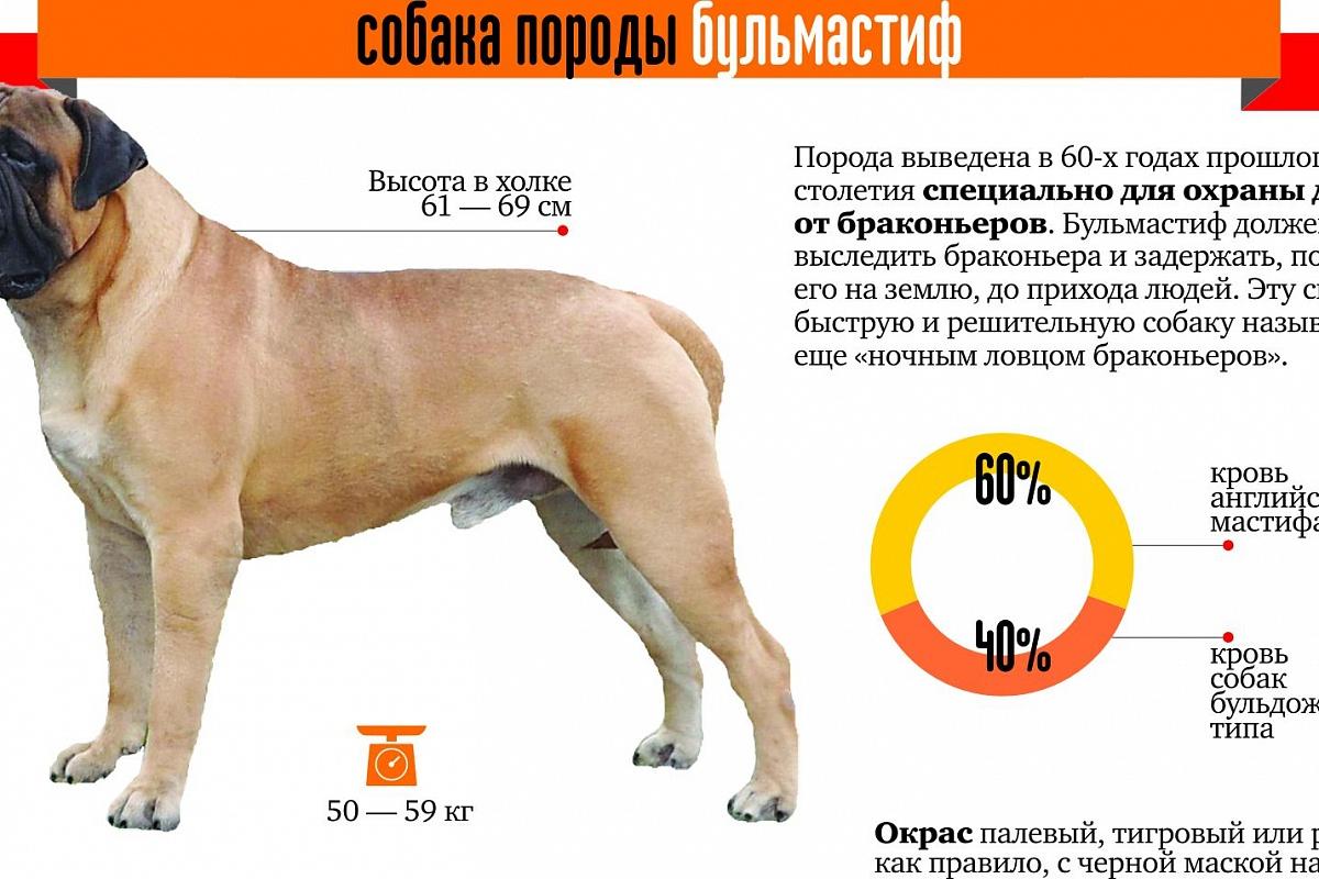 Испанский мастиф: характеристика породы и ее вес