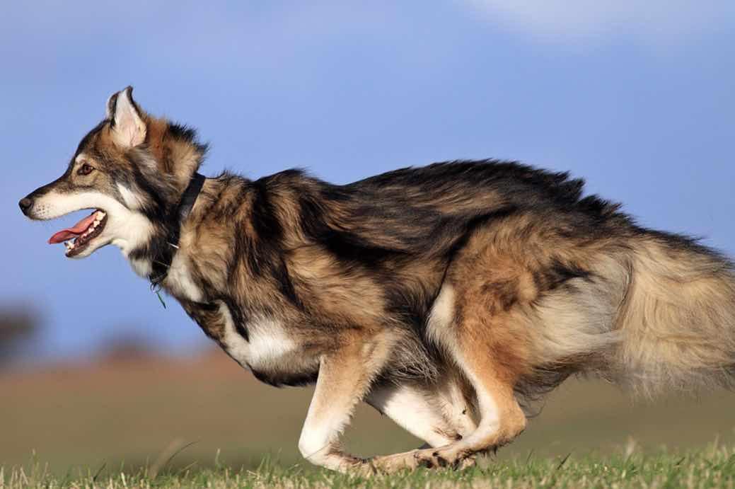 Волкособака утонаган: порода с большим потенциалом