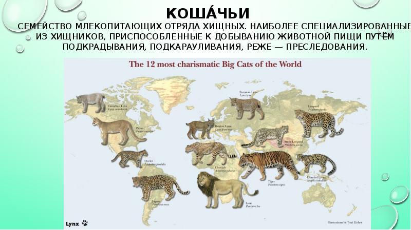 Разновидности диких кошек