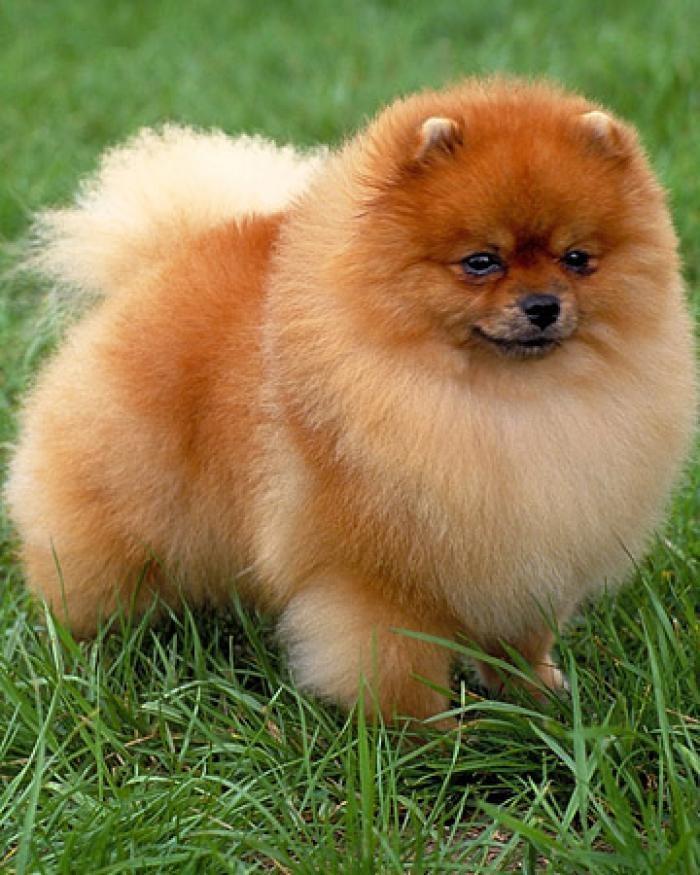 Карликовые породы собак: названия самых маленьких видов