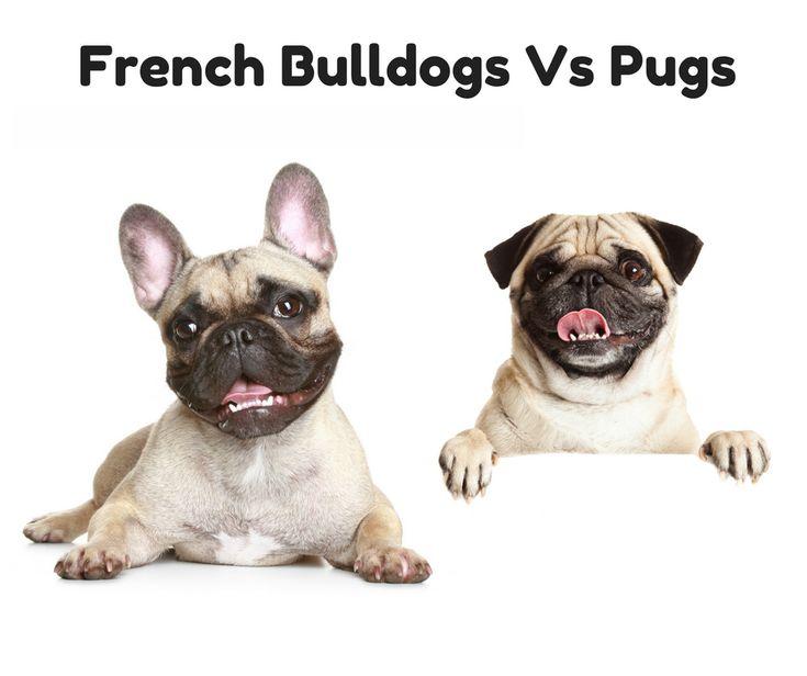 Мопс и французский бульдог: кого выбрать