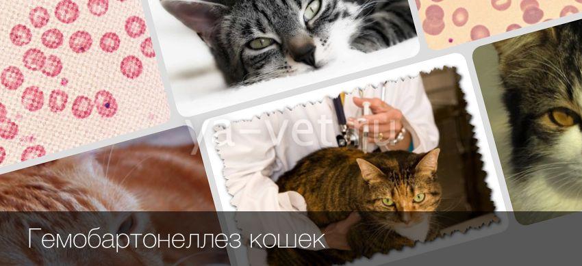 Гемобартонеллёз: лечение инфекционной анемии у кошек