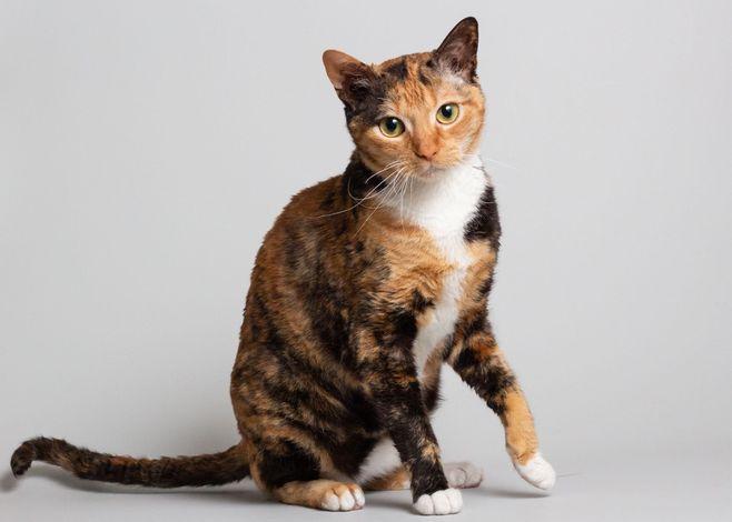 Немецкий рекс: кошки и коты