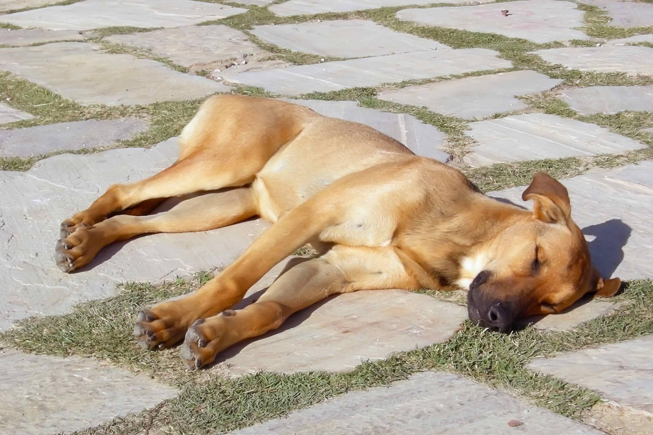 Почему собака дрожит, вялая и часто дышит
