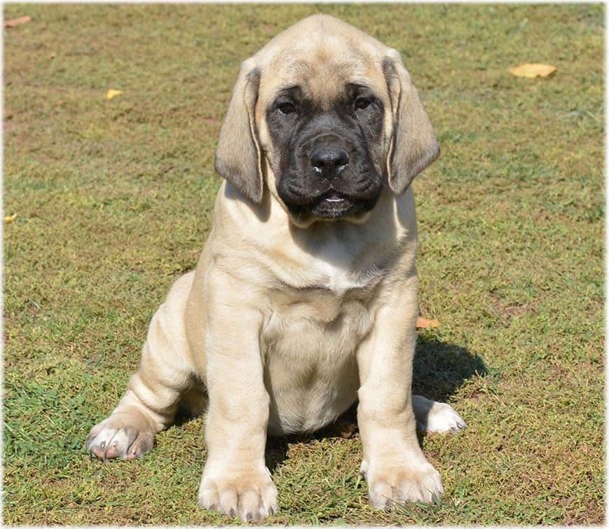 Английский мастиф: истинный джентльмен собачьего мира