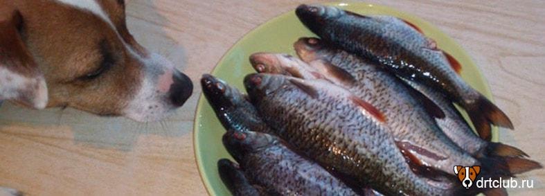 Можно ли собакам рыбу: как давать правильно