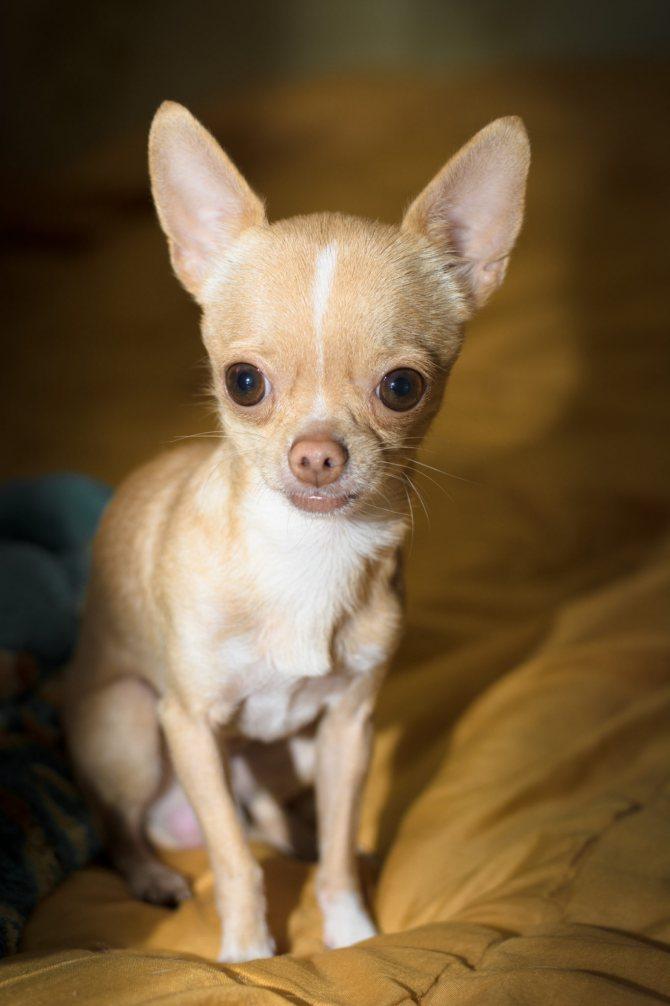 Самые маленькие породы собак: подойдут даже для однокомнатной квартиры