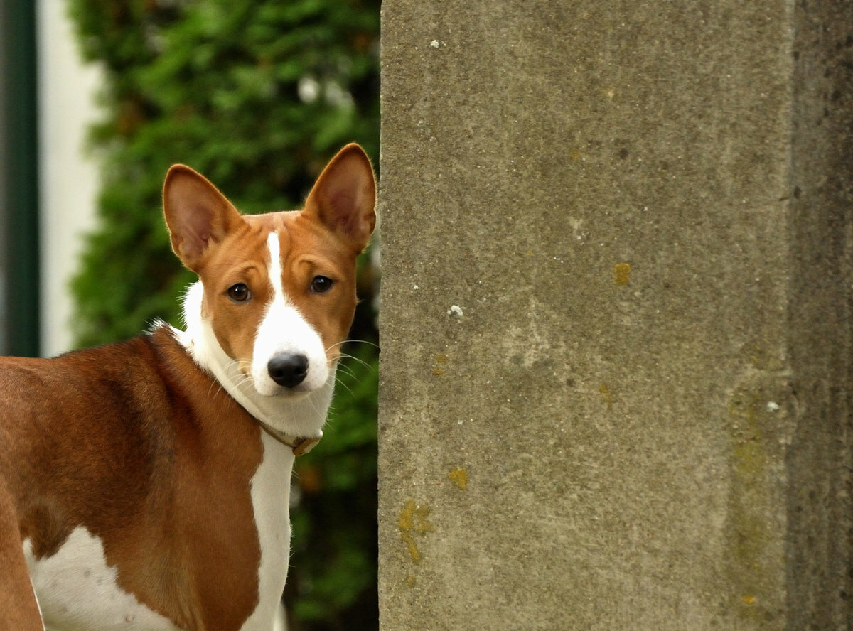 Басенджи (собака): африканская нелающая порода