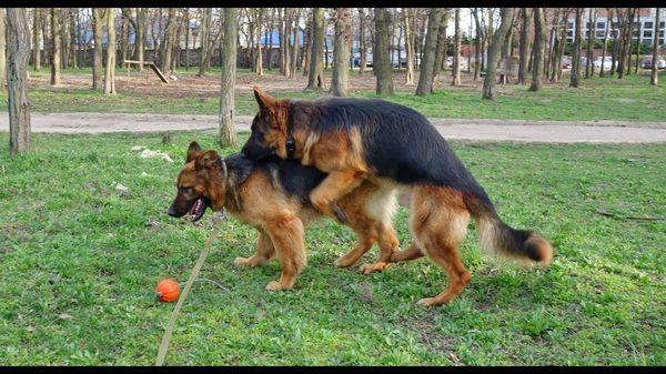 Основные правила и особенности вязки собак