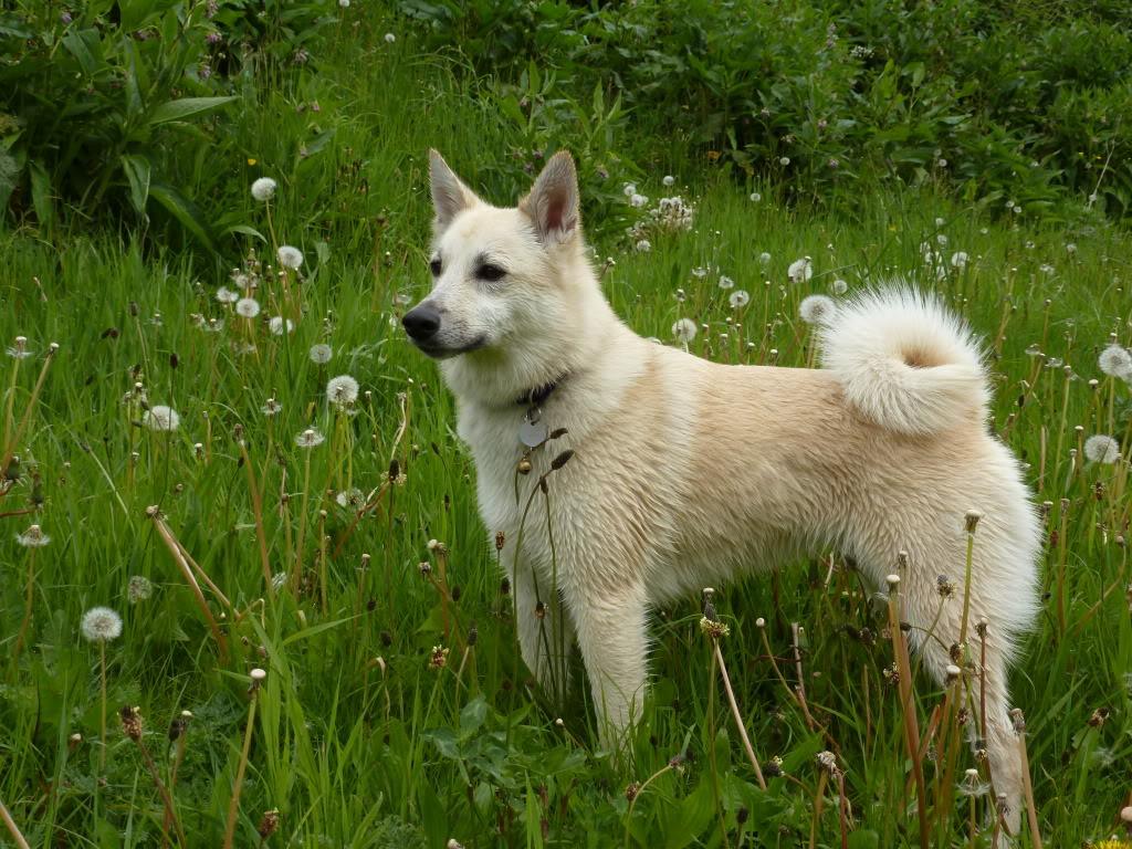 Норвежский бухунд (норвежская лайка, норвежская овчарка)