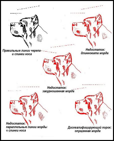 Итальянский кане-корсо: обновлённый стандарт породы
