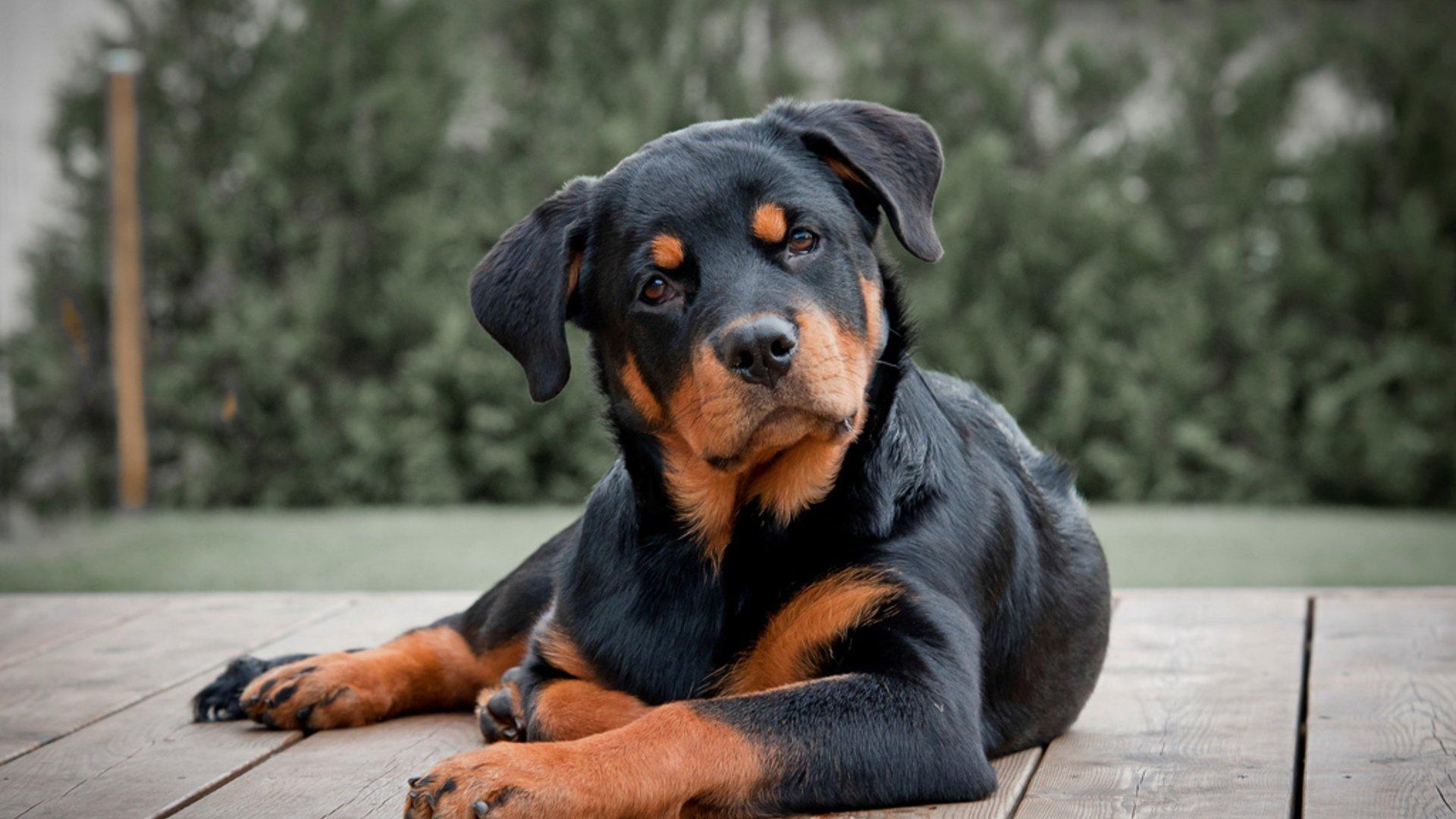 5 пород собак с брутальной внешностью, но ангельским характером