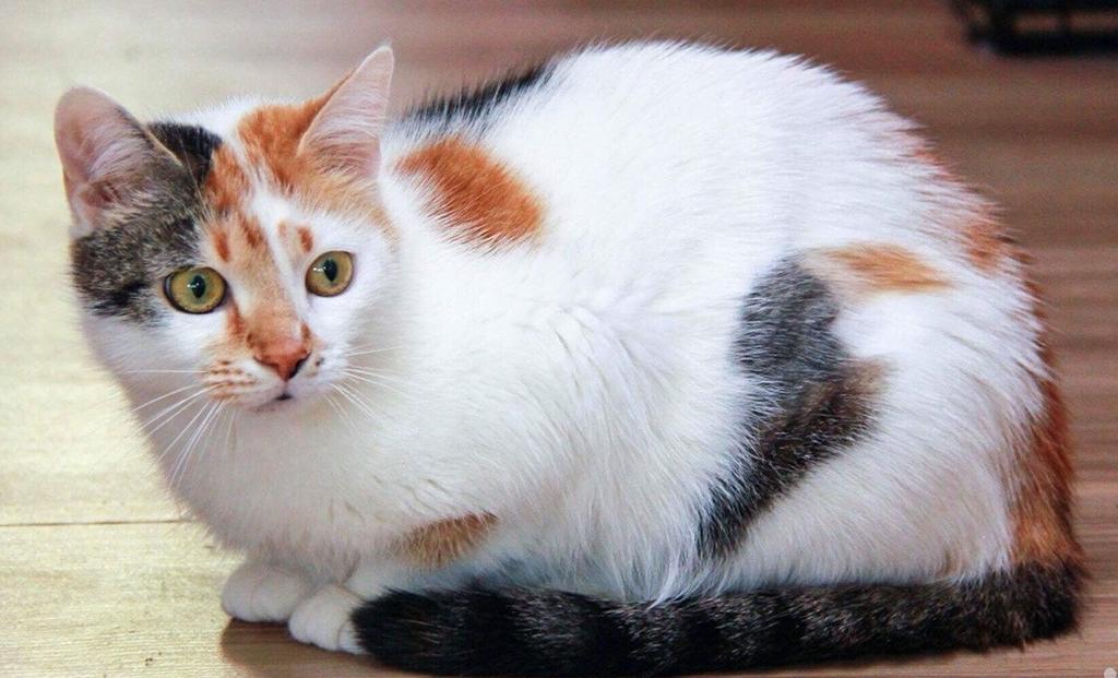 Трехцветная кошка: бывают ли мужского пола