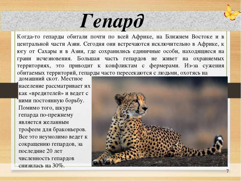 Азиатская леопардовая кошка (АЛК): дикая милаха