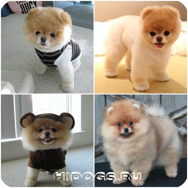 Собака-медведь: порода похожая на медвежонка